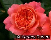 Orange Flower Circus (Floribunda Rose)