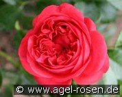 Out of Rosenheim (Floribunda Rose)