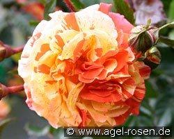 papagena floribunda rose buy at agel rosen. Black Bedroom Furniture Sets. Home Design Ideas