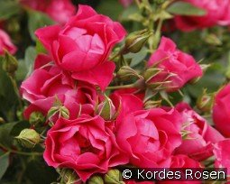 Pink Forest Rose