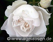 Princess of Wales (Floribunda Rose)