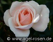 Queens Palace (Floribunda Rose)