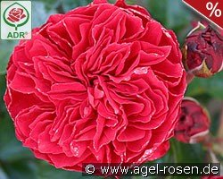 roses online shop agel rosen. Black Bedroom Furniture Sets. Home Design Ideas