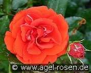 Remembrance (Floribunda Rose)