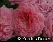 Romantic Flower Circus (Floribunda Rose)