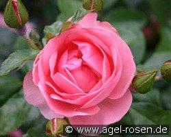 rosenprofessor sieber floribunda rose buy at agel rosen. Black Bedroom Furniture Sets. Home Design Ideas