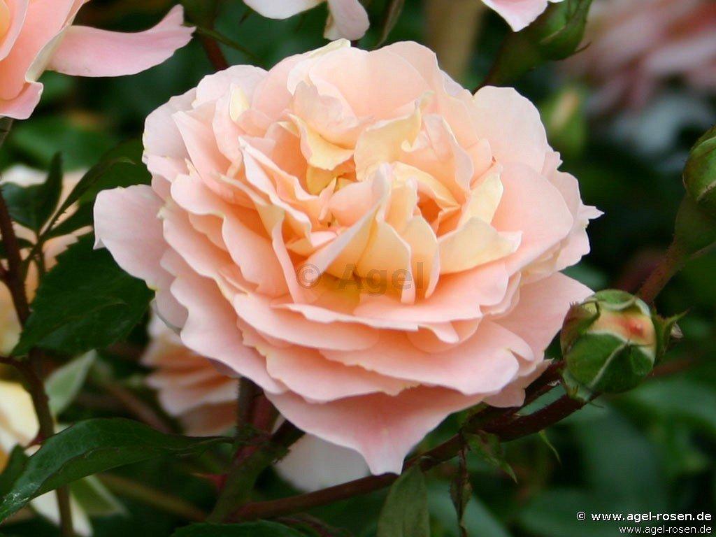 Rosé: Sangerhäuser Jubiläumsrose ®