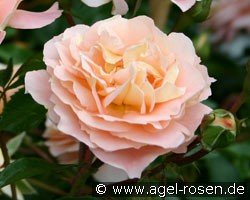 sangerh user jubil umsrose floribunda rose buy at. Black Bedroom Furniture Sets. Home Design Ideas