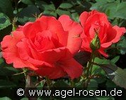 Satellite (Floribunda Rose)