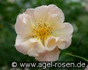 Scented Whisper (Floribunda Rose)