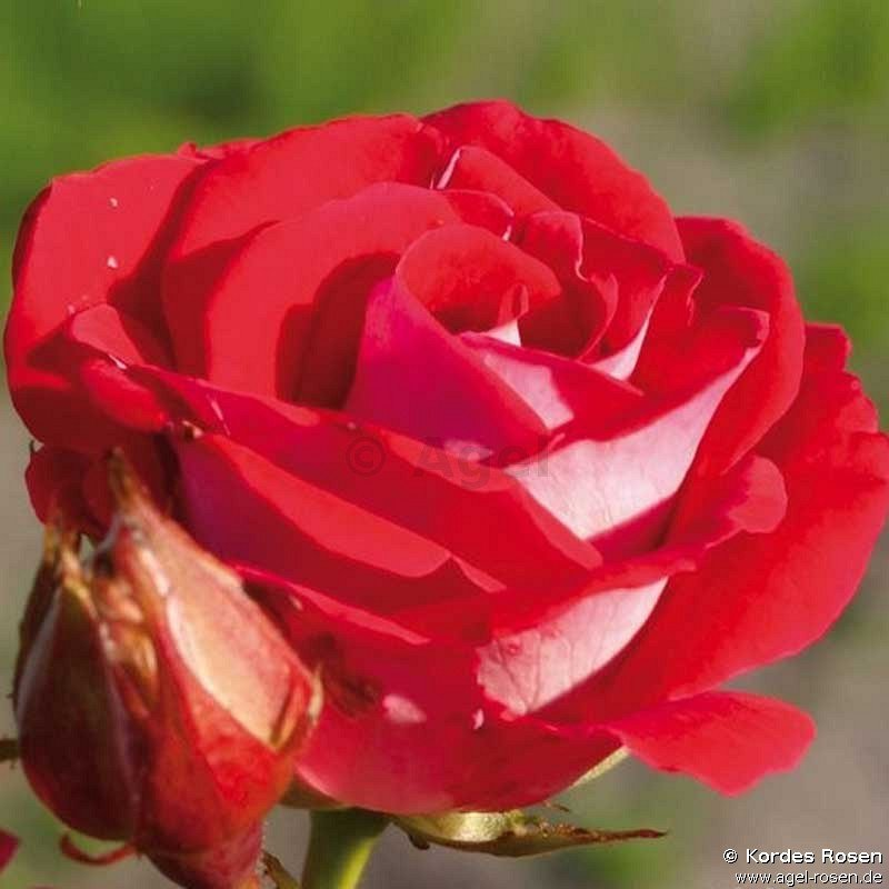 buy rose sch ne koblenzerin marie rottrov online at agel rosen 1 5 liter organic pot. Black Bedroom Furniture Sets. Home Design Ideas