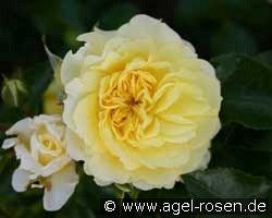 solero floribunda rose buy at agel rosen. Black Bedroom Furniture Sets. Home Design Ideas