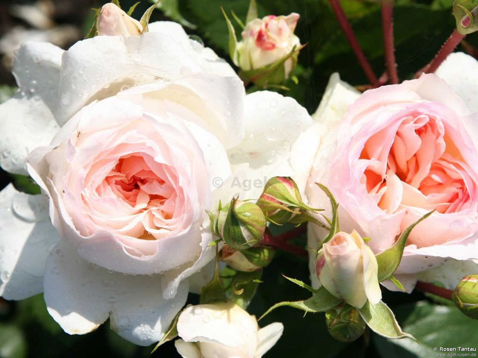Buy Stephanie Baronin zu Guttenberg ® - Floribunda Rose