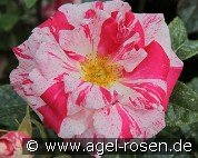 Summer Candy (Floribunda Rose)