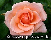 Sunset Boulevard (Floribunda Rose)