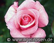 The Queen Elizabeth Rose (Floribunda Rose)