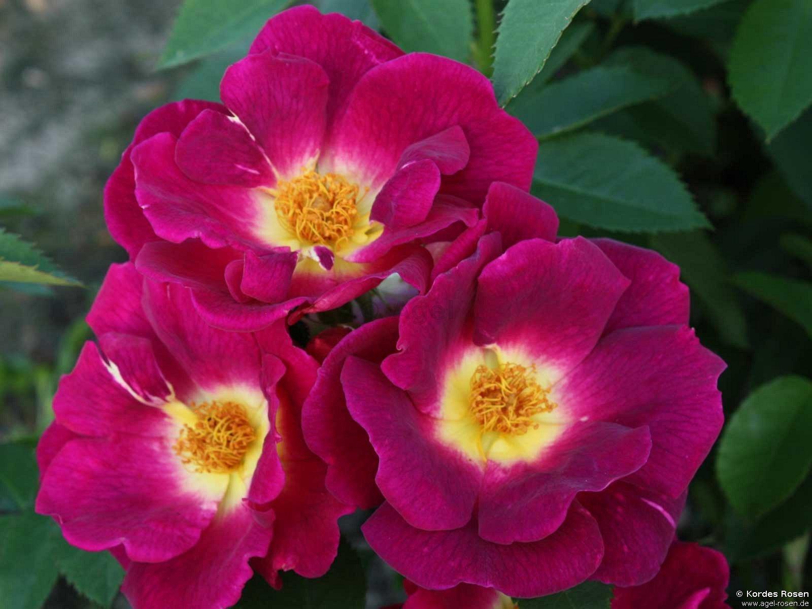 weg der sinne floribunda rose buy at agel rosen. Black Bedroom Furniture Sets. Home Design Ideas