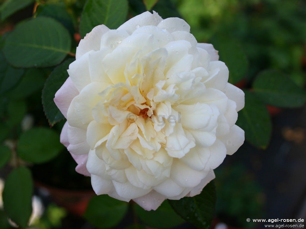 buy rose wei e gru an aachen online at agel rosen tree roses 90cm 8l pot present rose. Black Bedroom Furniture Sets. Home Design Ideas