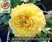 Yellow Meilove (Floribunda Rose)