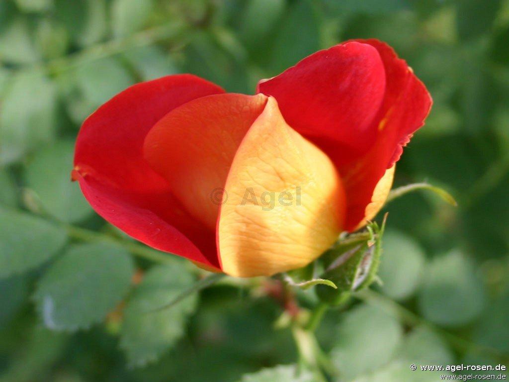 rosa lutea bicolor atropurpurea foetida rose buy at agel rosen. Black Bedroom Furniture Sets. Home Design Ideas