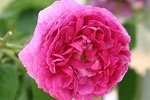 Aimable Rouge (Gallica Rose)