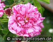 Belle Villageoise (Gallica Rose)