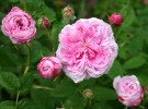 Belle sans Flatterie (Gallica Rose)
