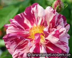 Camaieux (Gallica Rose)