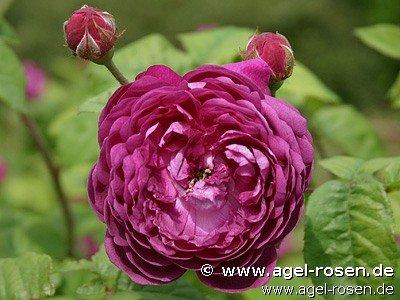 Cardinal De Richelieu Gallica Rose Buy At Agel Rosen