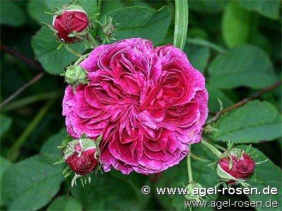 charles de mills gallica rose buy at agel rosen. Black Bedroom Furniture Sets. Home Design Ideas