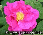 Rosa gallica 'Officinalis' (Gallica Rose)