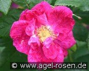 Rosa gallica 'Splendens' (Gallica Rose)
