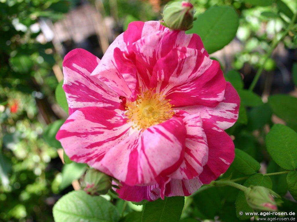 rosa gallica 39 versicolor 39 gallica rose buy at agel rosen. Black Bedroom Furniture Sets. Home Design Ideas