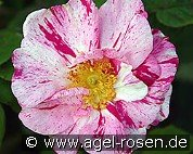 Rosa gallica 'Versicolor' (Gallica Rose)
