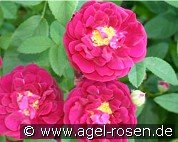 Tuscany Superb (Gallica Rose)