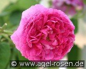 Aimable Rouge (Gallicarose)