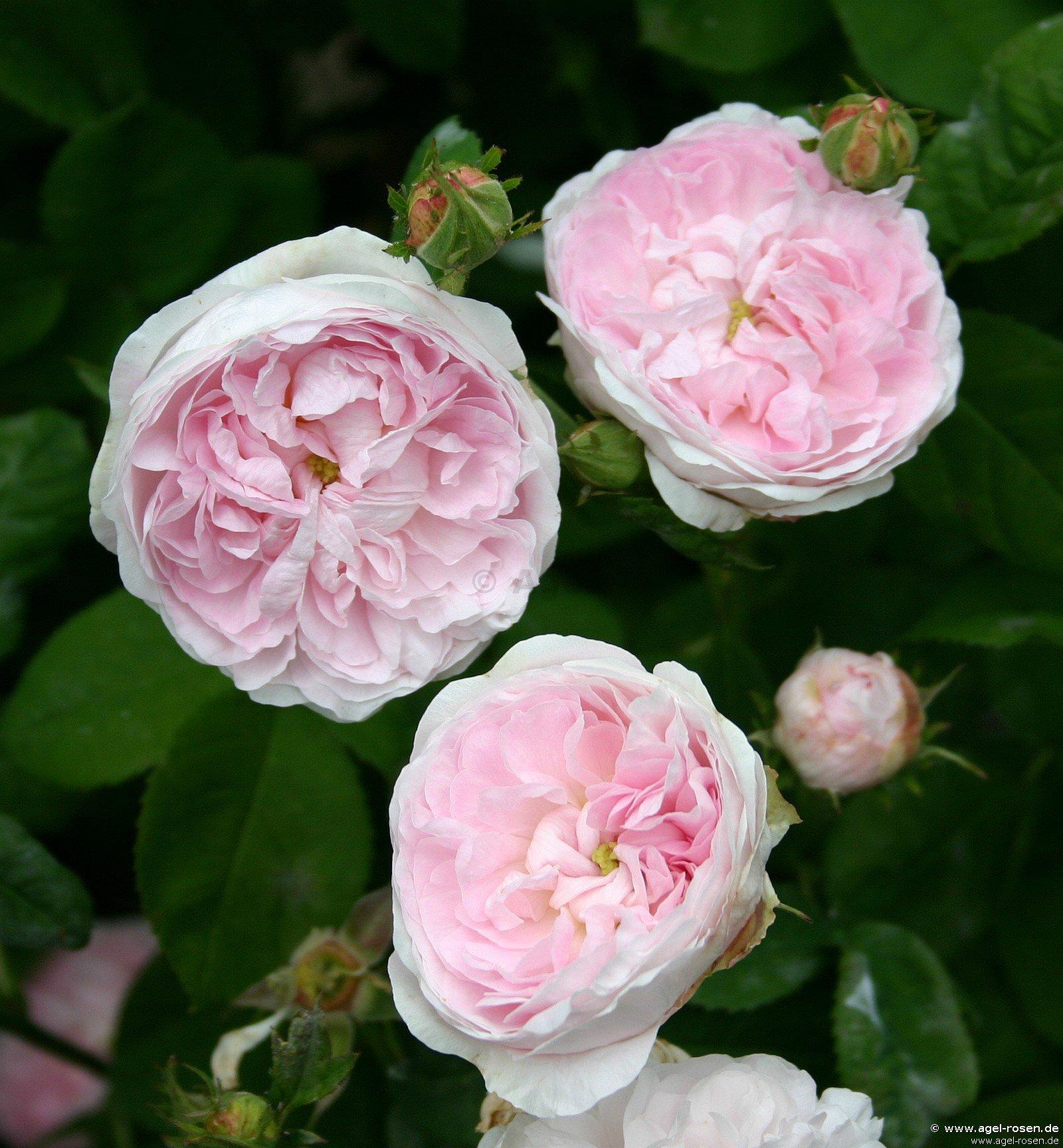 duchesse de montebello gallicarose kaufen bei agel rosen. Black Bedroom Furniture Sets. Home Design Ideas
