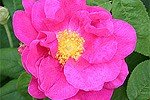 Rosa gallica 'Officinalis' (Gallicarose)