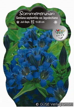 sommer enzian bei agel rosen online kaufen gentiana septemfida var lagodechiana blau. Black Bedroom Furniture Sets. Home Design Ideas