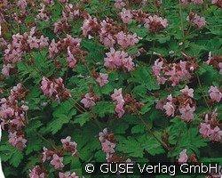 balkan storchschnabel bei agel rosen online kaufen geranium macrorrhizum 39 ingwersen 39 lila. Black Bedroom Furniture Sets. Home Design Ideas