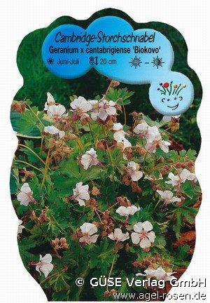 storchschnabel bei agel rosen online kaufen geranium x. Black Bedroom Furniture Sets. Home Design Ideas