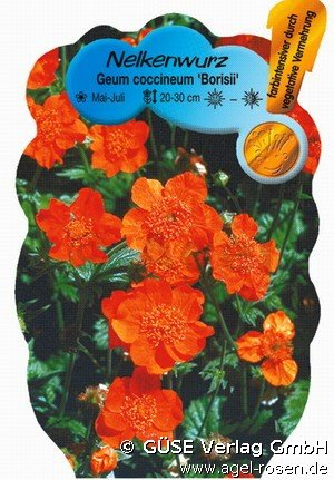 nelkenwurz bei agel rosen online kaufen geum coccineum 39 borisii 39 orange stauden f r beete. Black Bedroom Furniture Sets. Home Design Ideas