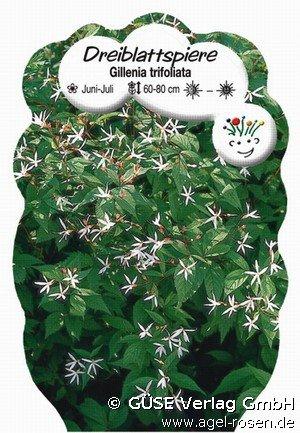 Dreiblattspiere Bei Agel Rosen Kaufen Gillenia Trifoliata De