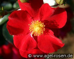 Alcantara (Ground Cover Rose)