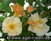 Amber Sun syn. Sonne des Allgäu (Ground Cover Rose)