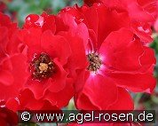 Austriana (Ground Cover Rose)