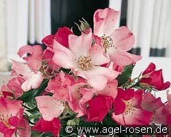 Avalanche Rose (Ground Cover Rose)