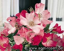 Avalanche Rose