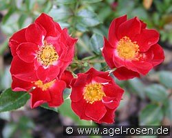 Bassino (Ground Cover Rose)