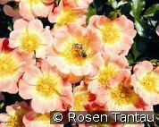 Bienenweide Apricot (Ground Cover Rose)